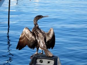 Cormorant or Mediterranean shag?