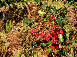 Though usually associated with Christmas the holly berries are particularly colourful in Autumn