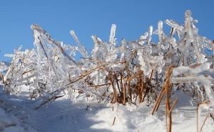 Rain frozen onto bracken stems