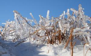 Rain frozen onto bracken stems