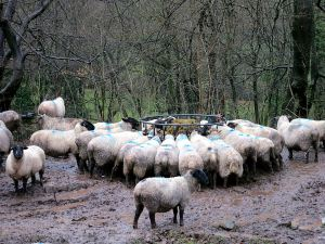 Livestock suffering in the extreme wetness of a Grey Britain winter
