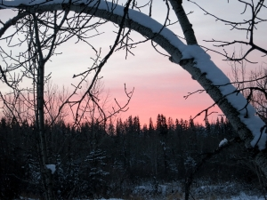 The sun settting, framed by branches bowed by snows over many years
