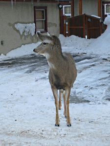 Deer wandering around the gardens and parking places within the Banff