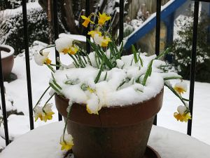 Mignon daffodils on the balcony bowed down under snow
