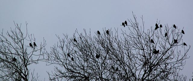 At the end of the garden crows sit huddled in the top of an ash tree and croak their complaints to each other.