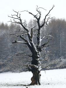 Dead oak tree on the flank of the ridge
