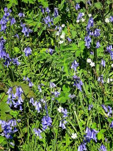 Bluebells are suddenly rampant and very fragrant