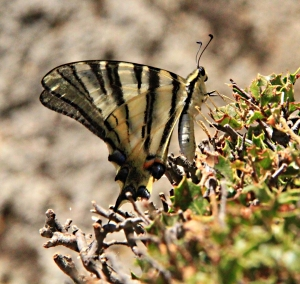 'Scarce Swallowtails' seem to be becoming scarcer