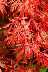 A deep purple variety of Japanese maple turns bright red even on a grey day