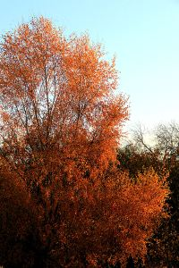 Silver birch turns golden brown, exaggerated by the setting sun