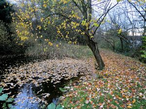 Leaves shed on the pond as well as the path