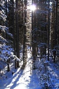 Tall, straight trees filtering the sun