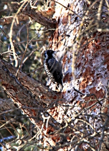 Woodpecker some 30 feet up the tree pecking off the bark