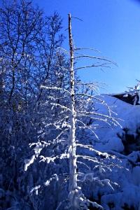 Dead tree still standing