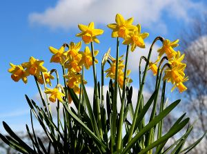Daffodils light up in the sun