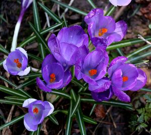 Crocuses like chicks with bright coloured beaks