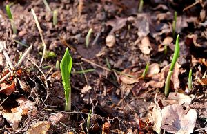 Newly planted ramsons (wild garlic) just emerging from the leaf mold.