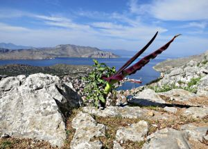 April 2013: Two-foot long spathe of a Dragon Lily at the side of a rocky footpath through the mountains overlooking Symi harbour