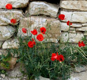 Poppies at the side of a old wall