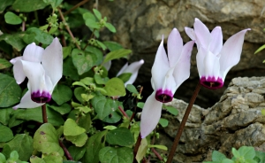 Cyclamen, mostly now finished flowering but still found in shady places