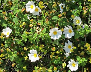White dog-roses