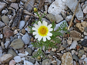 A type of daisy which is very widespread, here a sole plant struggling to survive in the pebbles of the beach