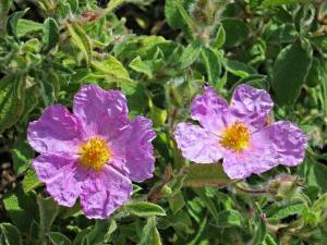 Larger flowered, pink dog-rose
