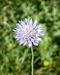 Tall, spindly cornflowers