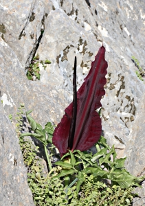 Dragon Arum grows in cracks in vertical rock