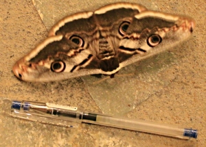 A Hawk Moth settles next to the table