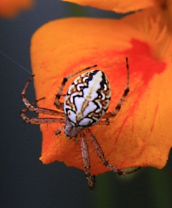 Spectacular markings on spider on nasturtium petal