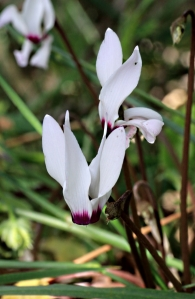 No apologies for including cyclamen again, one of my favourites