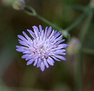 Tall. very spindly type of cornflower