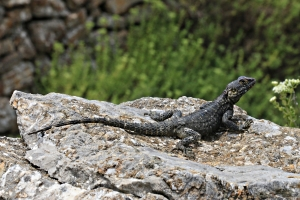 gives time for the agama to come out and pose