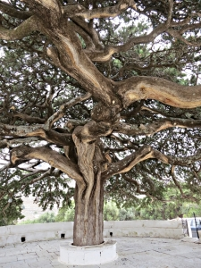 The great shade tree at Roukouniotis monastery