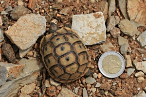 Tortoise with €2 coin for scale