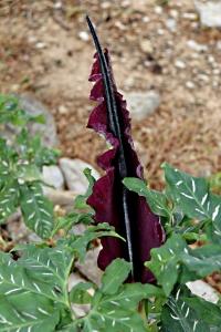 Dragon Arums still in flower