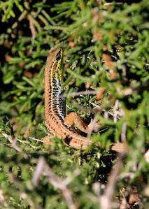 Oertenzi lizard with coloured throat