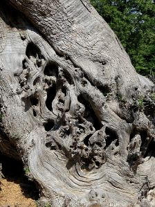 Gnarled trunk of cypress tree
