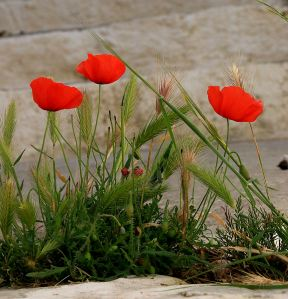 Poppies, vivid even in shady spots