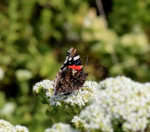 Red Admiral on oregano