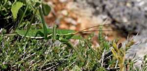 European Mantis, about 6 inches long including its antennae