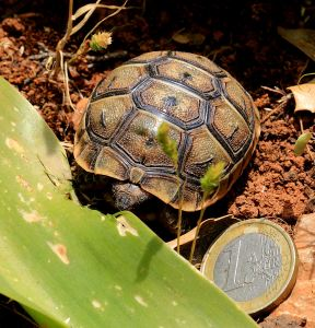 Indication of teh size of the smaller tortoises