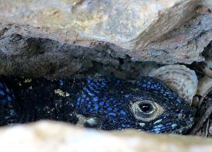 Painted Dragon lizard gone to ground in a limestone crevice