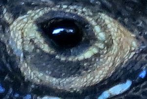 Zooming in - photographer in lizard's eye (as with all photos, click to get full-screen view)