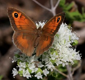 Oregano attracts many butterflies late into May