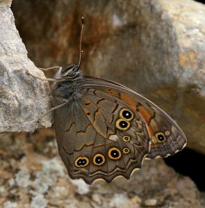 Some butterflies are significantly larger with very different eyes