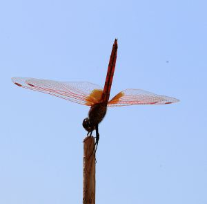 Red dragonfly balancing on stick
