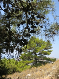 Fresh green of new growth on Scots Pine