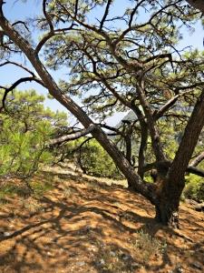 Pine-needle carpet through the trees